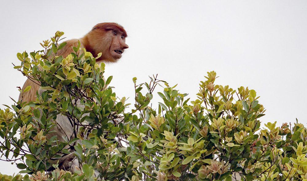 PUSSIG: Neseapene i Indonesia har noen menneskelige trekk.
