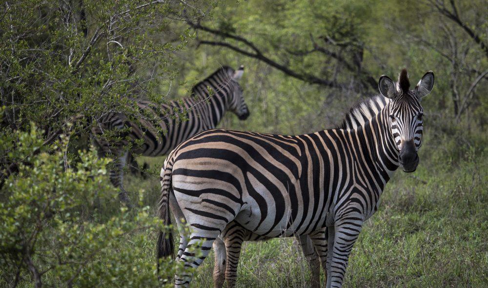 VAKRE STRIPER: Sebraen er en av savannens mest fascinerende dyr, og et viktig byttedyr for parkens rovdyr.